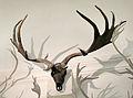 Megaloceros giganteus (antlers+skull) at Göteborgs Naturhistoriska Museum 8086.jpg