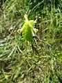Melampyrum cristatum sl13.jpg