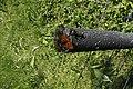 Melitaea didyma, Valserine - img 29481.jpg