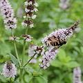 Mentha spicata-IMG 6179.jpg