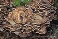 Meripilus giganteus (44395036014).jpg