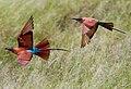 Merops nubicoides.jpg