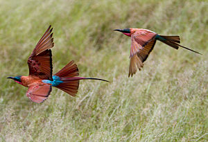 Southern carmine bee-eater - Near Savuto Channel, Northern Botswana
