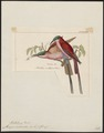 Merops nubicoides - 1820-1863 - Print - Iconographia Zoologica - Special Collections University of Amsterdam - UBA01 IZ16800337.tif