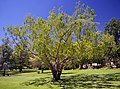 Metasequoia glyptostroboides located in the Wagga Wagga Botanic Gardens 01.jpg