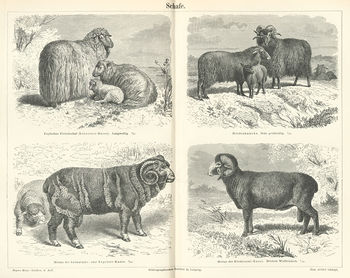 List of sheep breeds
