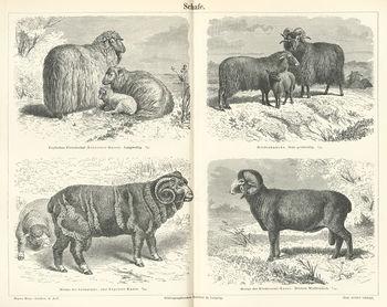 List of sheep breeds - Wikipedia