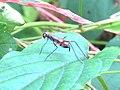 Micropezidae, stilt leggedfly.jpg