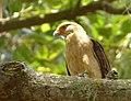 Milvago chimachima (Pigua - Garrapatero caucano) - Flickr - Alejandro Bayer (2).jpg