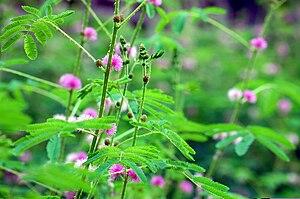 Mimosa - Mimosa diplotricha in Kerala, India