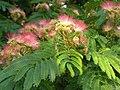 Mimosa tree.jpg