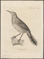 Mimus curvirostris - 1700-1880 - Print - Iconographia Zoologica - Special Collections University of Amsterdam - UBA01 IZ16300341.tif
