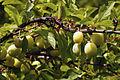 Mirabelles à Hattonchatel (lorraine) Cl J Weber01 (23566762592).jpg