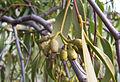 Mistletoe seeds.jpg