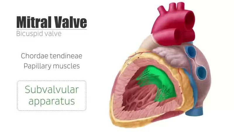 File:Mitral Valve - Anatomy, Function & Area - Human Anatomy Kenhub ...