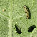 Monarch caterpillar and egg.jpg