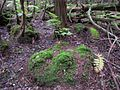 Mossbumps in Atlantic White Cedar Swamp - Flickr - treegrow.jpg