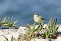 Motacilla flava - Western Yellow Wagtail - Sarı kuyruksallayan 04.jpg