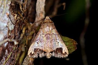 <i>Bocula</i> Genus of moths
