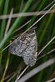 Moth (Lepidoptera) - Guelph, Ontario 02.jpg