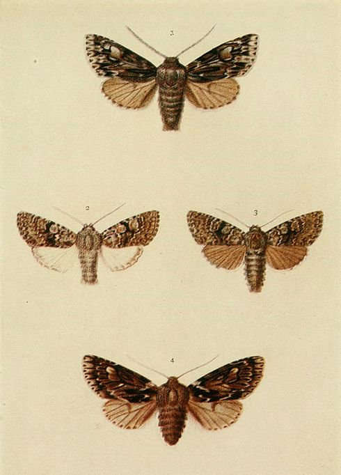 Moths of the British Isles Plate140.jpg