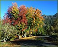 Mountain Beauty, Oak Glen, CA 11-17-13t (11518282484).jpg