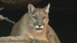Файл:Mountain Lion (Puma concolor).webm