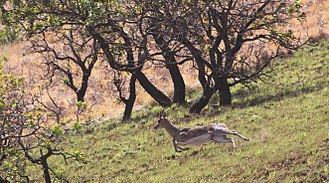Mountain reedbuck - Male southern mountain reedbuck in flight, KwaZulu-Natal Drakensberg, South Africa