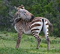 Mountain Zebra - Flickr - Ragnhild & Neil Crawford.jpg