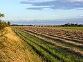 Mown hay near Blewbury - geograph.org.uk - 503384.jpg