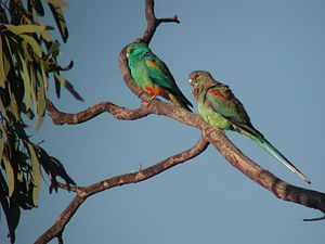 Currawinya National Park - Male and female Mulga Parrots