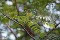 Murraya koenigii - Indian Botanic Garden - Howrah 2013-03-31 5736.JPG