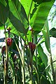 Musa acuminata 0zz.jpg