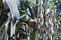 Musa x paradisiaca-Japoniar bananondo 07.jpg
