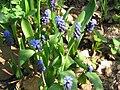 Muscari latifolium1.jpg