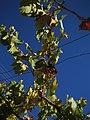 Muscat grapes for pisco.jpg