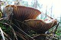 Mushrooms, Rogalinek (2).JPG