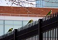 Myiopsitta monachus -New York, USA -three feral-8.jpg