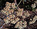 N20141009-0013.—Eriogonum giganteum var giganteum—RPBG (15491957405).jpg