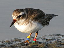 Image of Shore plover juvenile