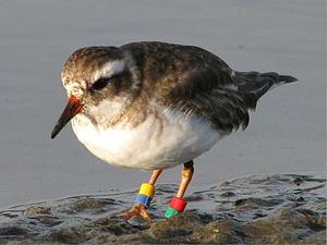 Shore plover - Juvenile