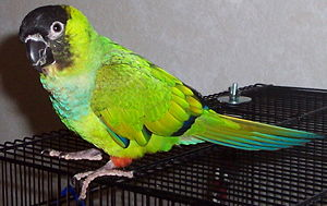 Nanday parakeet - Pet on a cage