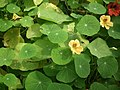 Nasturtium from lalbagh 2104.JPG