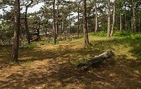 Nationaal Park Duinen van Texel, bosgebied aan het begin richting Strandpaal 12 IMG 6326 2020-06-08 12.43.jpg