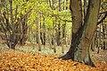 Nationaal Park Zuid-Kennemerland wet beech tree.jpg