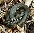 Natrix natrix (Colubridae) (European Grass Snake), Biebrza NP, Poland.jpg