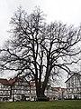 Naturdenkmal - Die Linde vor der Eschweger Marktkirche im Werra-Meißner-Kreis.jpg