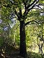 Naturdenkmal ND185 Eiche Schafbornbach Hüttertal.jpg