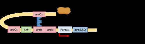 Arabinose promoter