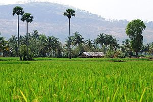 Thiruvazhiyad - Palm trees (Washingtonia filifera) and Paddy fields in Thiravazhiyad village